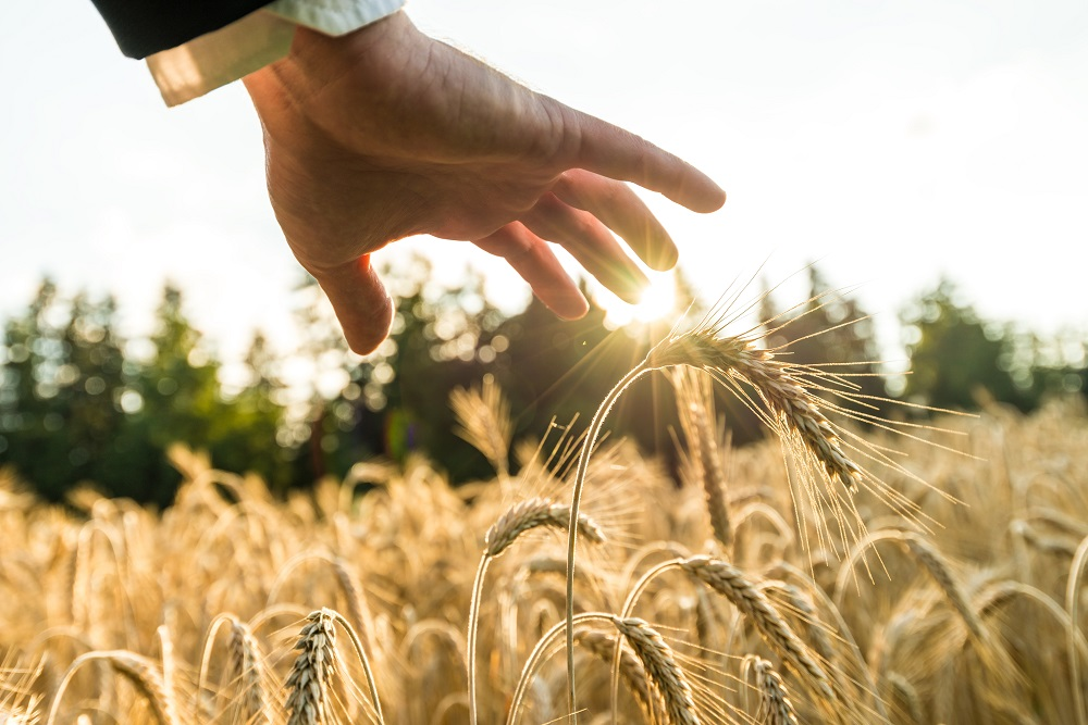 Closeup of businessman hand holding his hand above ripening golden wheat ears growing in summer field lit by the evening sun. Suitable for spiritual, life and business concept.