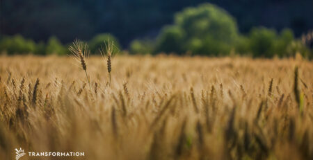 Perennial Agriculture: Field of Perennial Wheat | Transformation Holdings