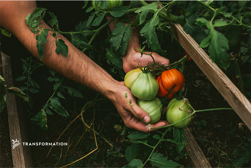 colored tomatoes: agricultural biodiversity concept