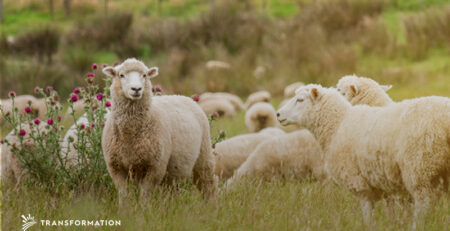 sheep are an example of managed grazing: regenerative agriculture