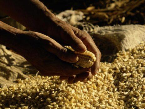 Hands breaking kernels off corn, close-up